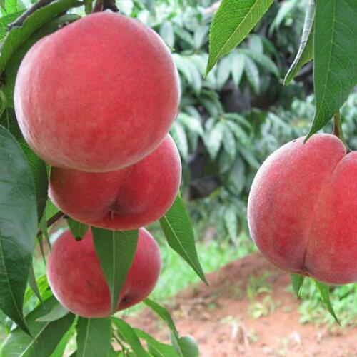 南方的果桃