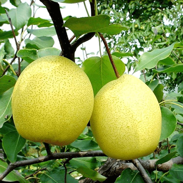 咳嗽吃什么水果