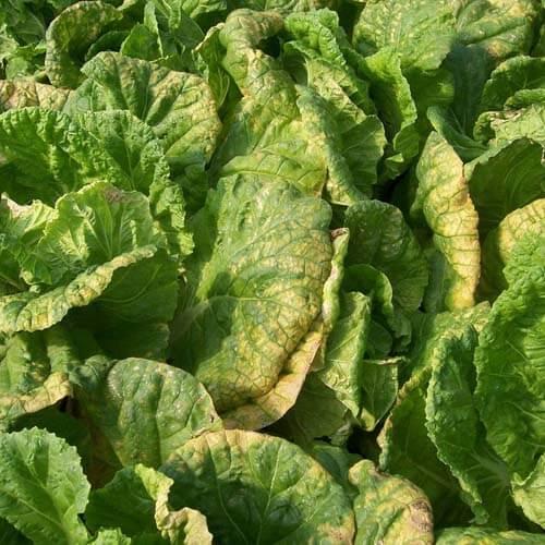 白菜霜霉病是什么