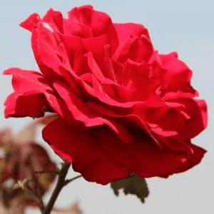 兴达玫瑰开发图1