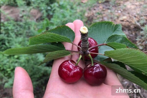 美早樱桃和车厘子的区别-九州醉餐饮网