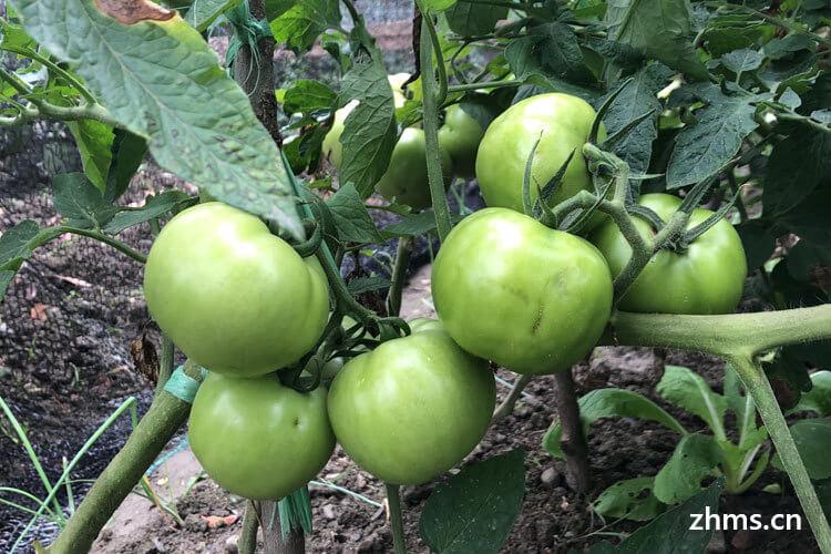番茄与西红柿的区别是什么?