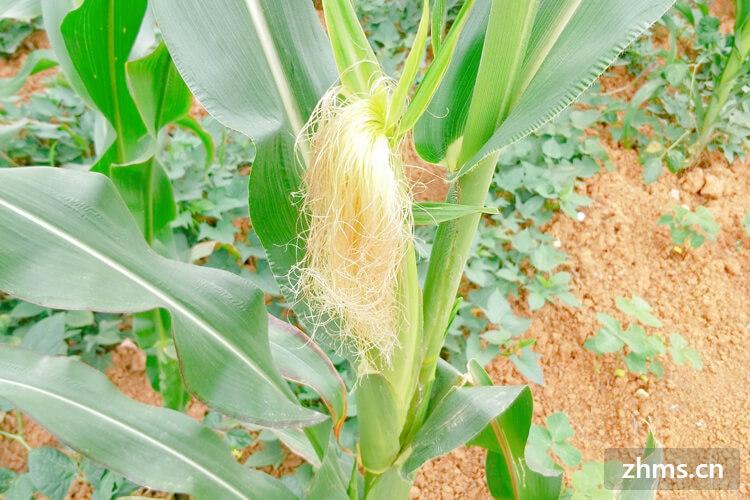 庄稼有各种各样的,种植的季节也不尽相同,想问下什么庄稼在处暑之前种植生长的比较好?