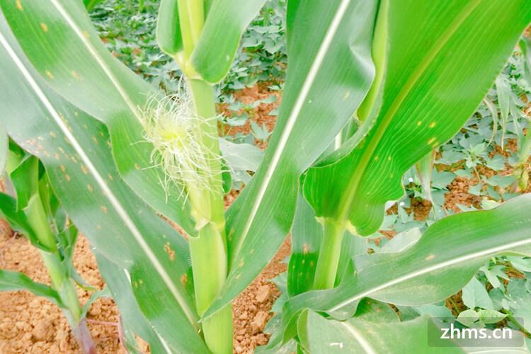 玉米能减肥