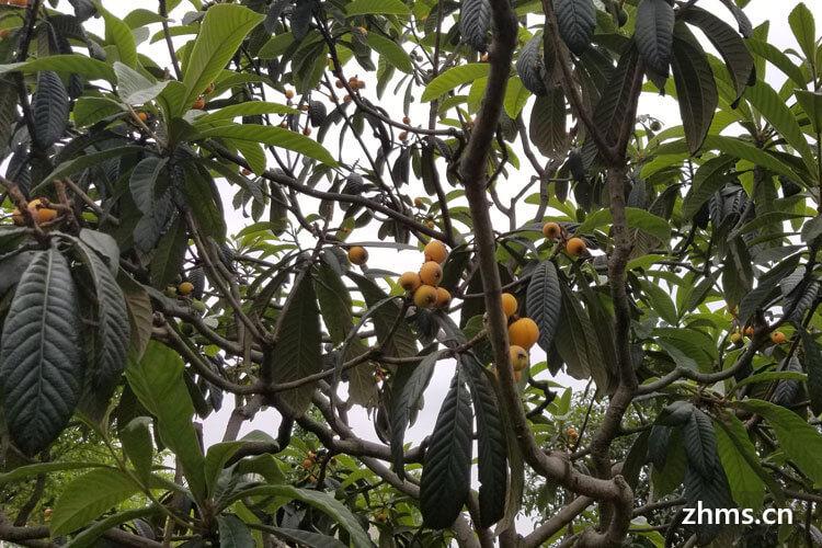 枇杷的果实
