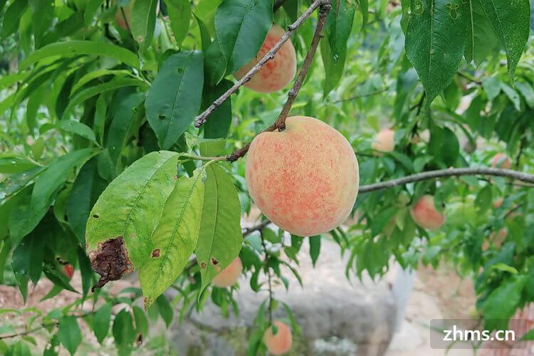 最好的水蜜桃产地