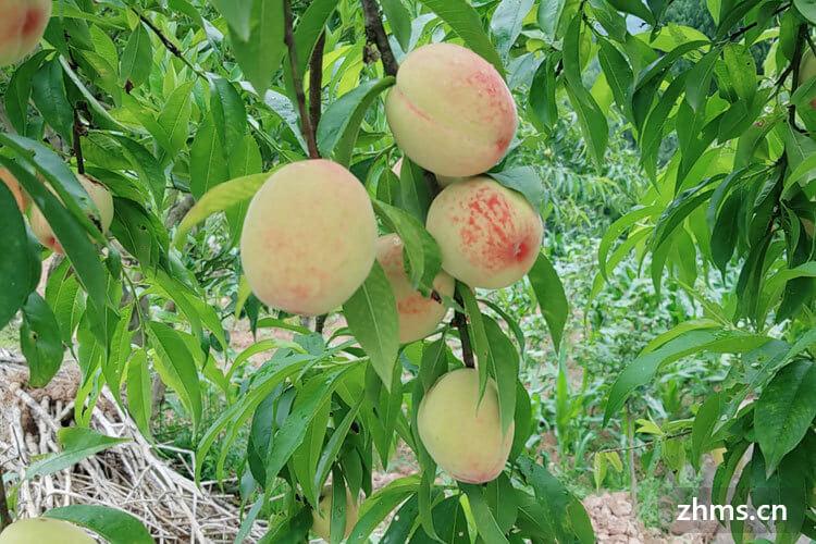 水蜜桃空腹可以吃吗,它有什么危害
