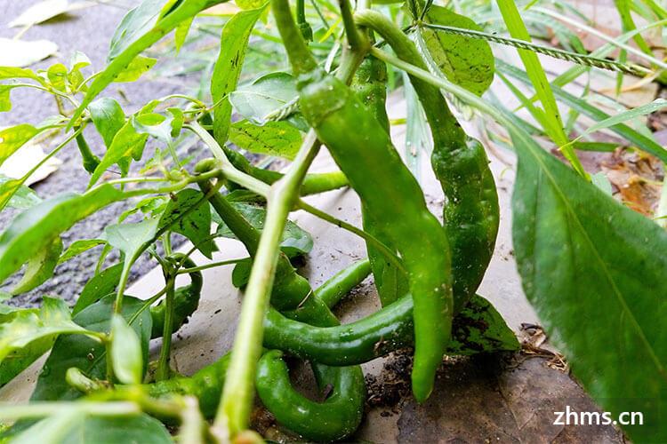 青椒的功效与作用你了解多少