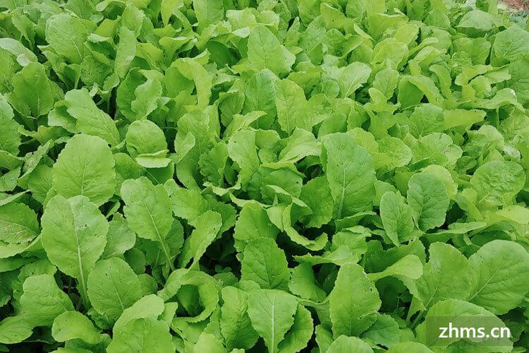 小白菜怎么挑选?小白菜怎么种植?