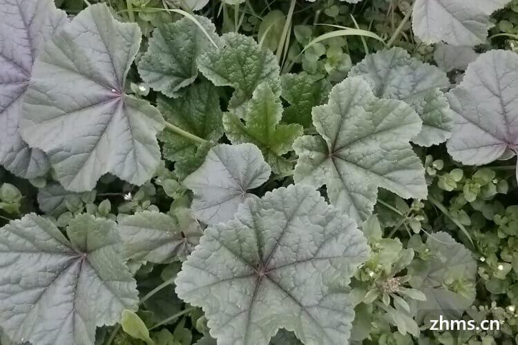 有时常常看到一种名为冬寒菜的蔬菜,可是冬寒菜什么地方有