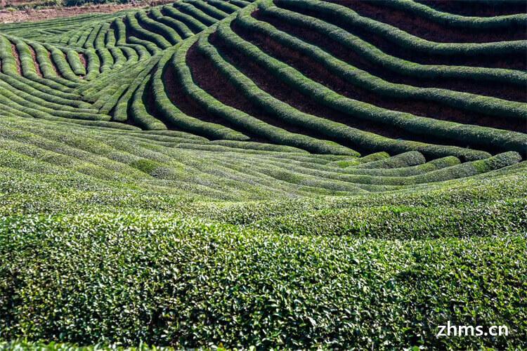 我买了一袋正山小种茶叶,可正山小种茶叶碎了是为什么