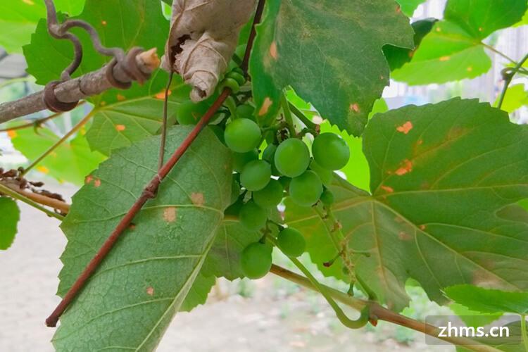 葡萄种植方法是什么