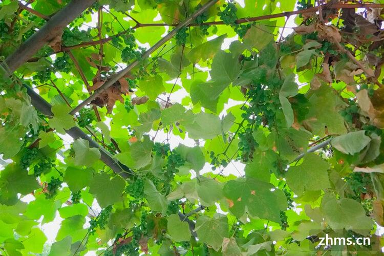 7月份的葡萄是催熟的吗