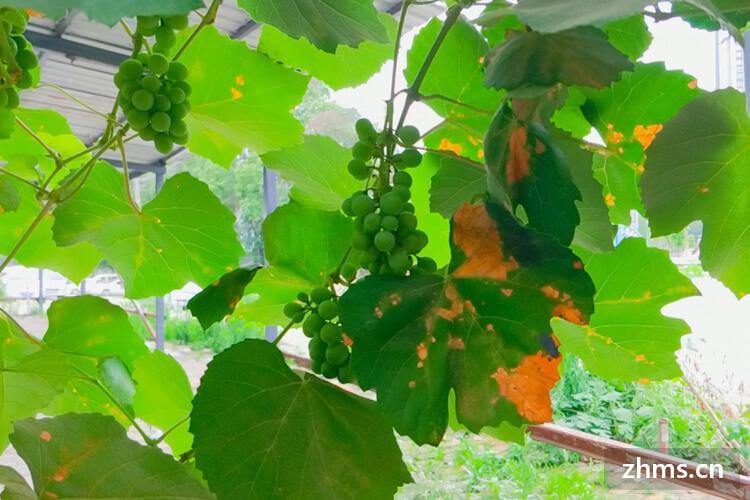 夏黑葡萄与巨峰葡萄口感哪个好