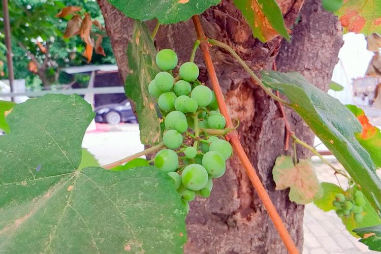 特别喜欢吃提子,提子和葡萄的营养价值是一样的吗?
