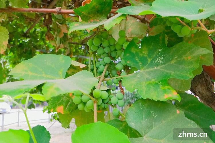 葡萄怎么种植?简单的葡萄种植方法