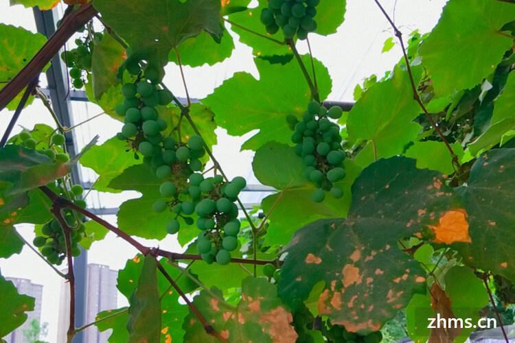 葡萄成熟是什么时候