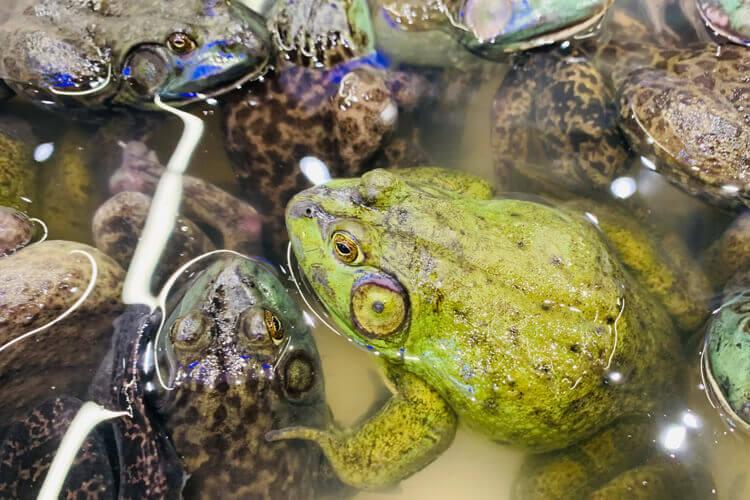 吃牛蛙配上牛蛙酱料味道才佳,想知道酱香牛蛙用什么酱味道会奇特