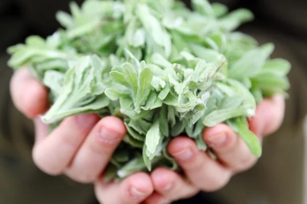 清明不止会下雨,还有野菜生长这种菜叫清明菜第一步