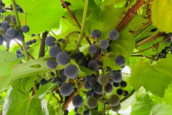 家酿葡萄酒承包你整个夏日的甜蜜第一步